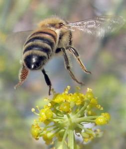la peur des insectes chez les enfants : abeille en vol