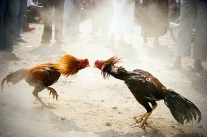 les causes des conflits : Combat de coq